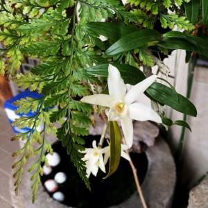 セッコクの花