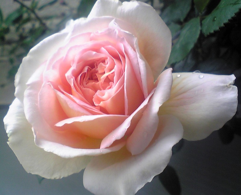 バラの花アブラハム・ダービー