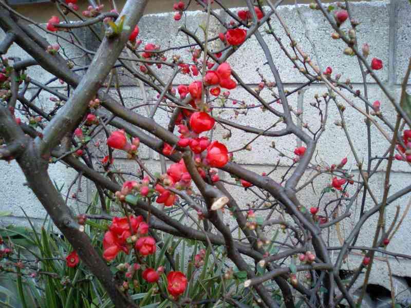 ボケの花 早春の庭を彩る赤い花 ボケの実(果実)が瓜に似ている 盆栽でも楽しまれている樹木(花木)である