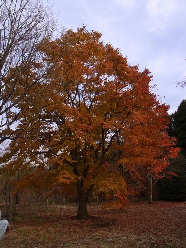 20101125irohamomiji
