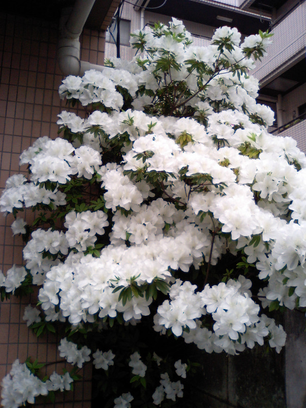 20110509tsutsuji